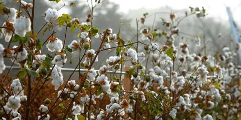 東北コットン綿畑