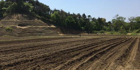 東松島農場コットン畑