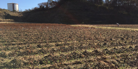 収穫後のコットン畑