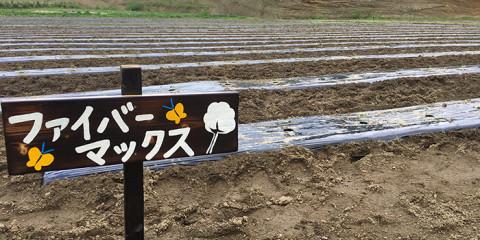 一面の綿畑